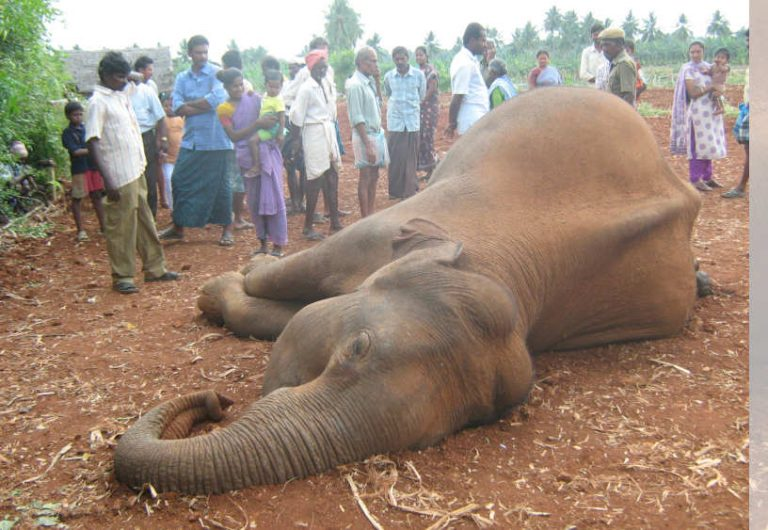As Living Room Runs Out In India, The Slaughter Of Its Elephants ...