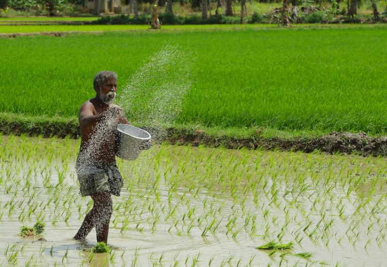 India Must Shift Rice Growing East From Punjab Haryana To
