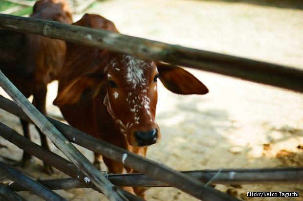 620 Cow