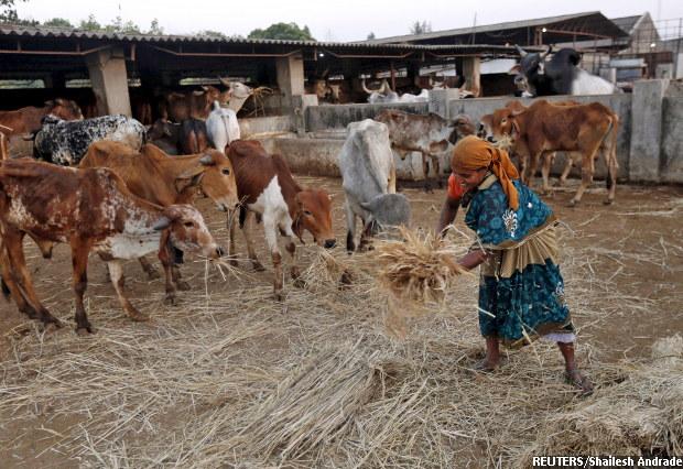 620-cows