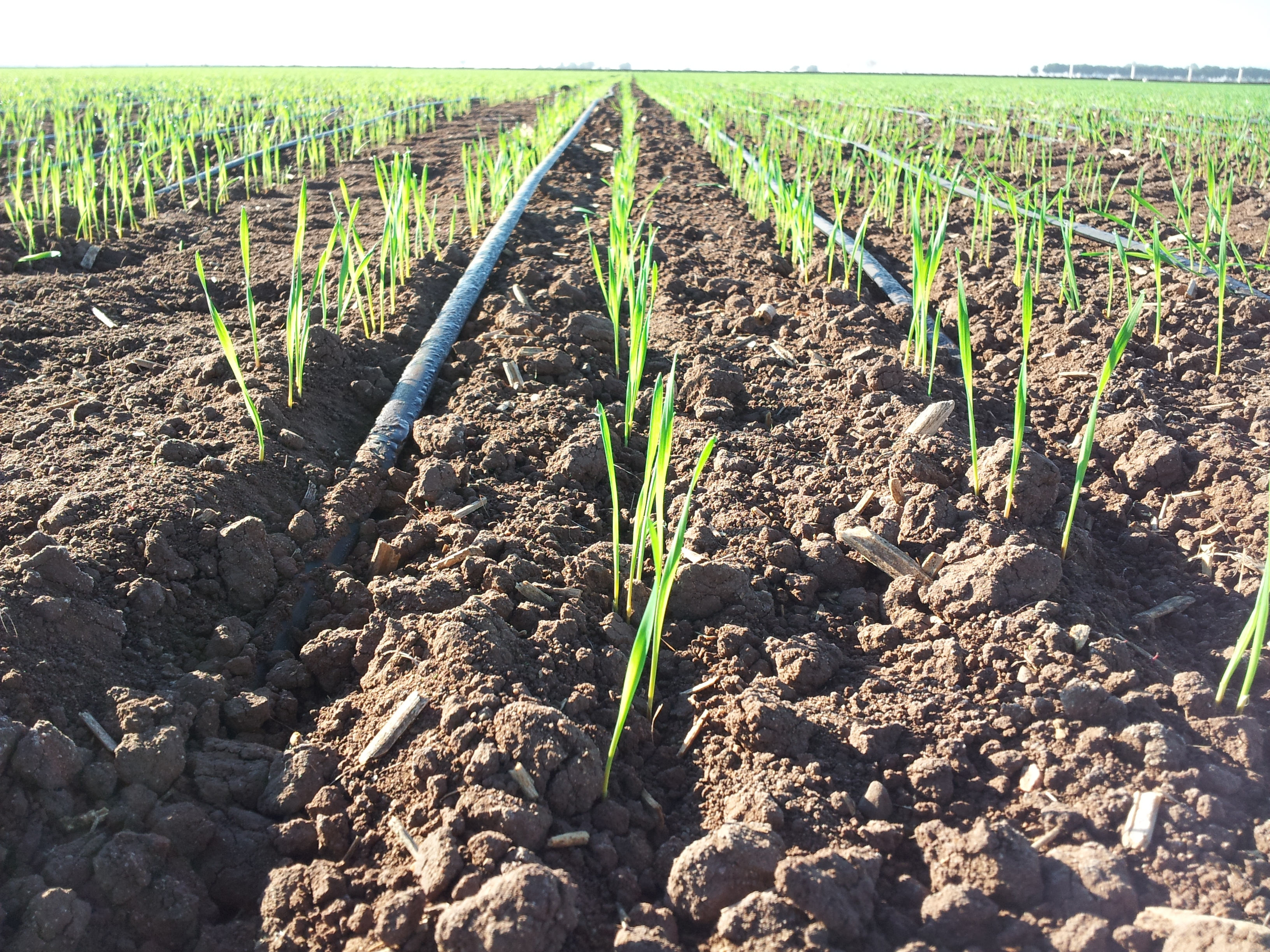 Weekly photo competition runner up, 11 January 2013: Drip irrigation in Obregon