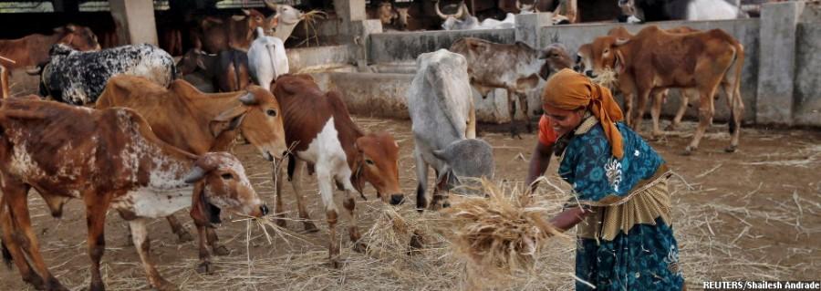 960-cows