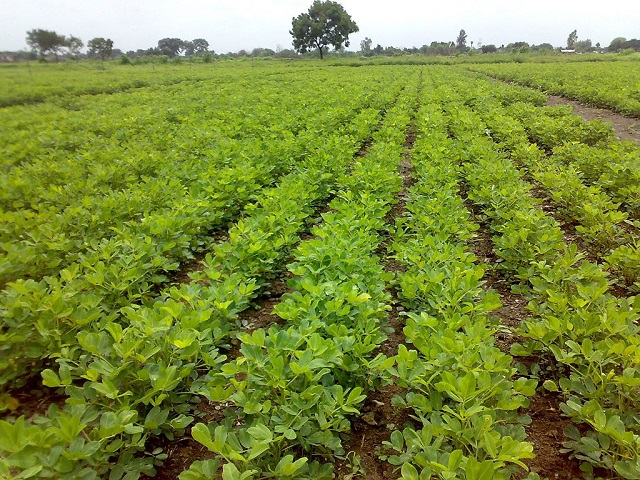 Cultivation_of_peanut_crop_in_Junagadh_region_of_Western_India
