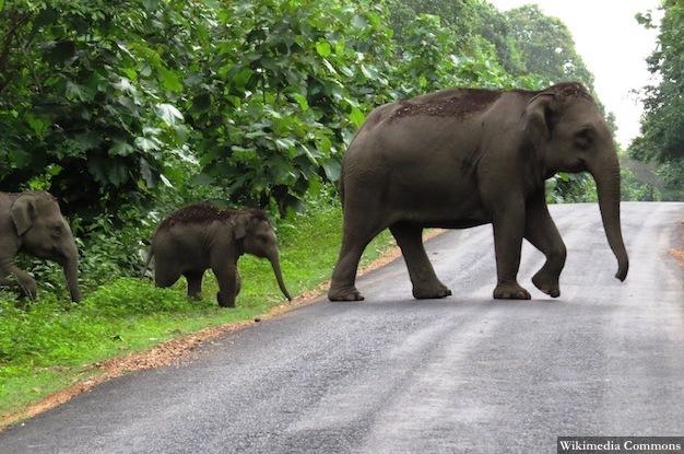 Elephant_620