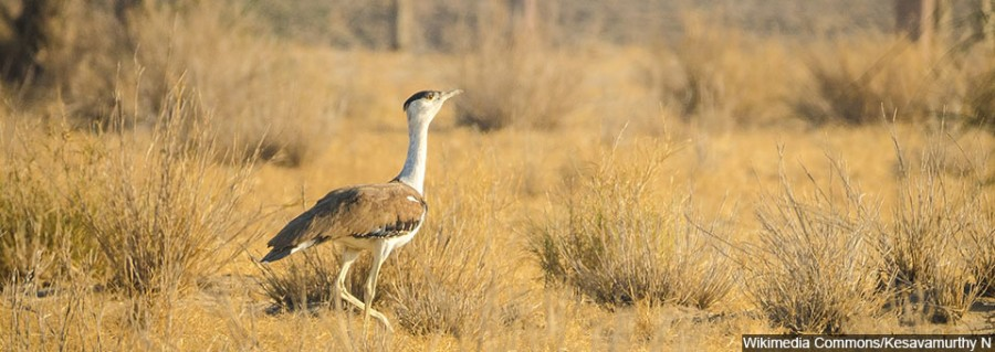 Great_Indian_Bustard_from_DNP_960