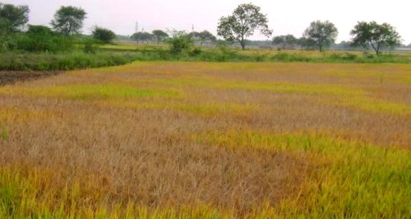 PUNJAB-FIELD-COVER-WIDTH-600px_HT-320px1