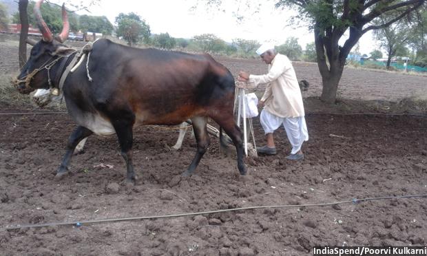 Pundalikrao sowing black gram