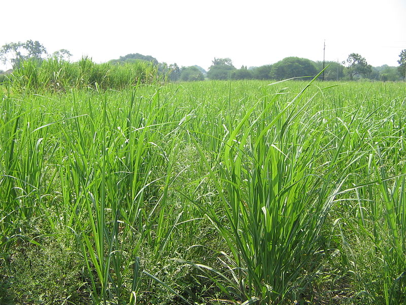 Rice_paddy_(3385161432)