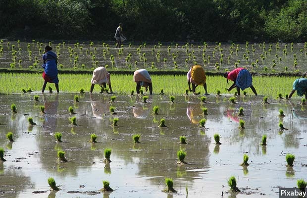 irrigation_rice_620