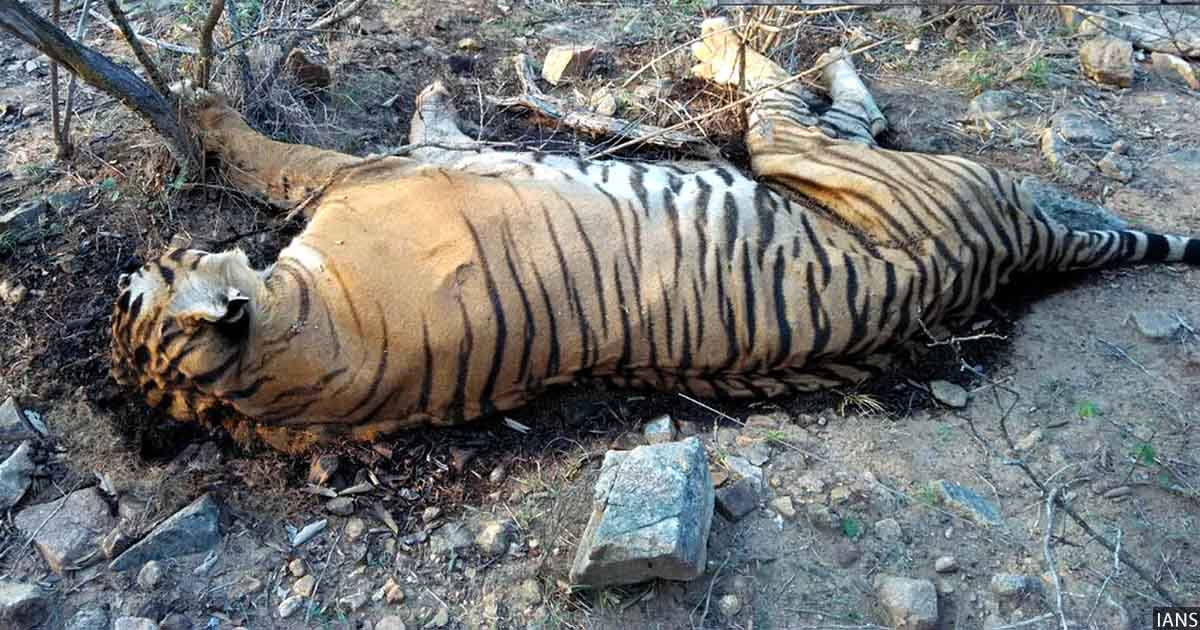 Most Tiger Deaths In Madhya Pradesh, Maharashtra Over 8 ...